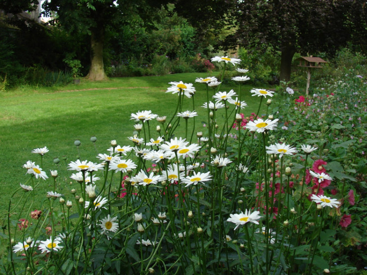 Gerbera daisy flower garden for front yard