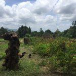 khmer rooster in an organic farm in sihanoukville