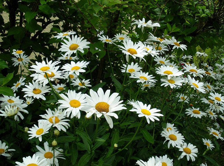 white and yellow daisy garden for front yard