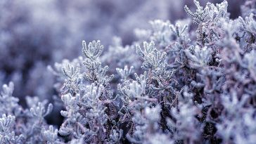 frost lavender in backyard garden evergreen shrub